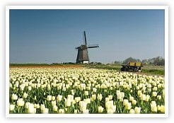 Tulips Growing in Holland